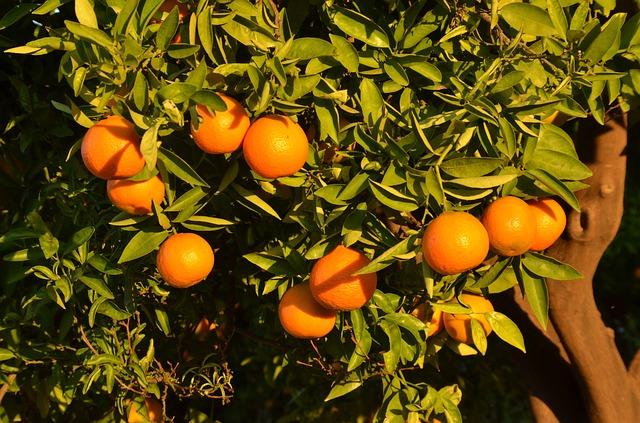 mandarinky na stromě
